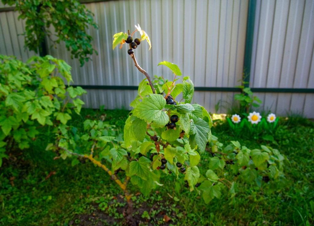 Zwei Johannisbeerpflanzen im Garten