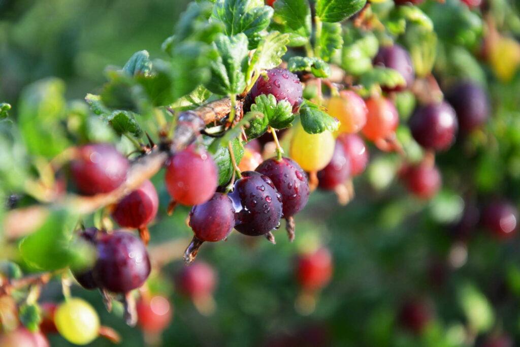 Bunte Stachelbeeren im Garten