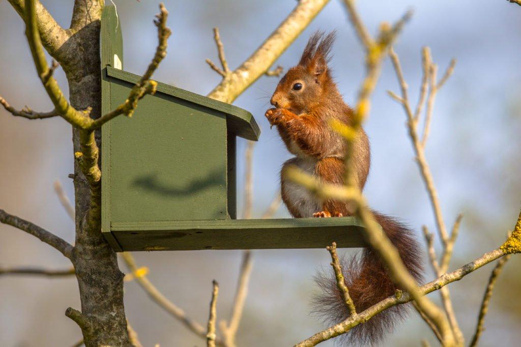 Eichhörnchen frisst an einem Futterhaus im Baum