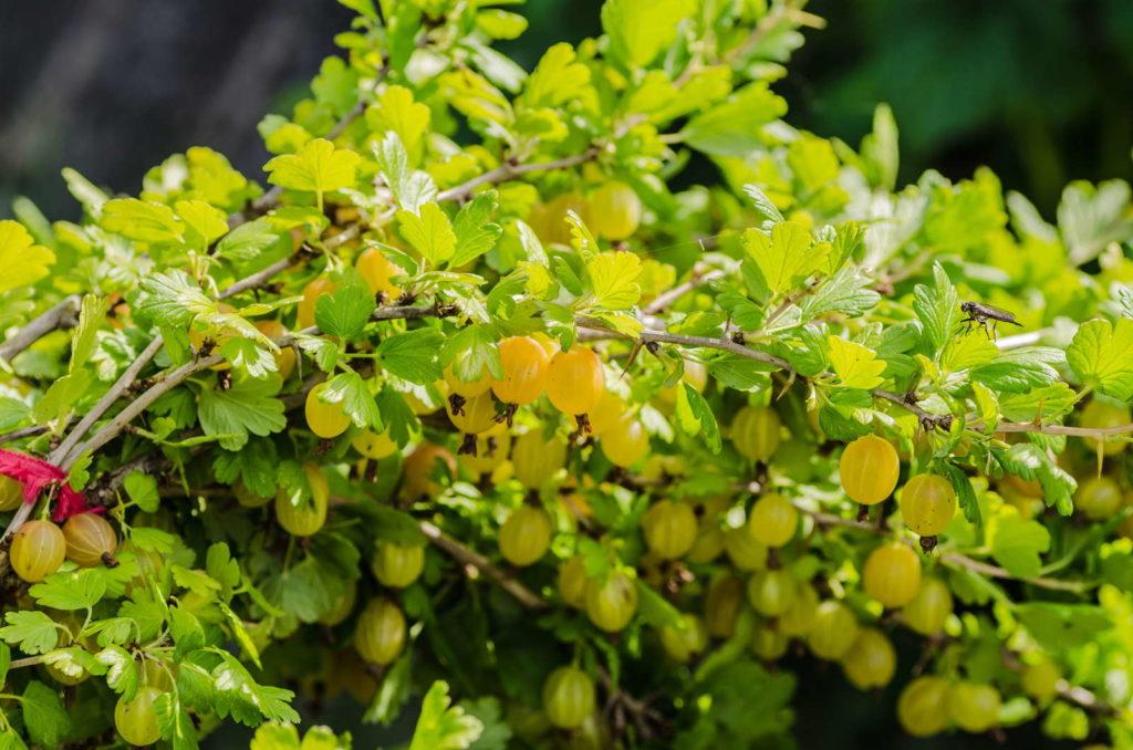 Gelbe Stachelbeeren im Garten