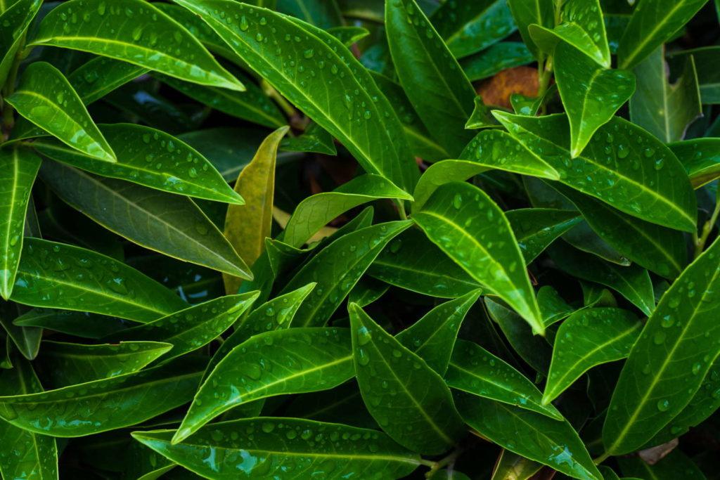 grüner Kirschlorbeer mit Regentropfen im Garten