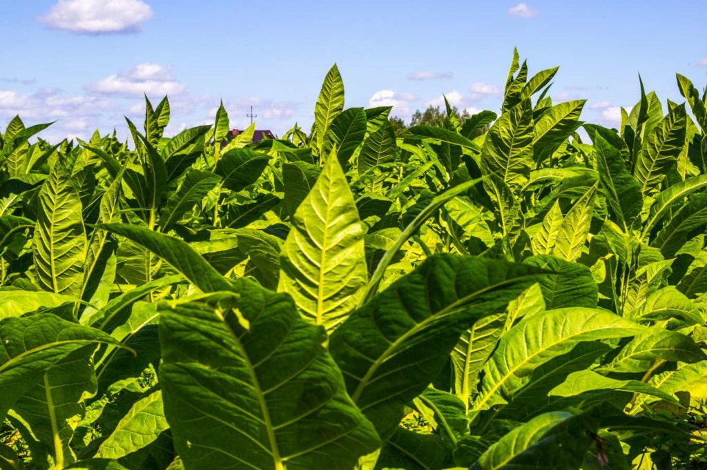 große Tabakpflanze