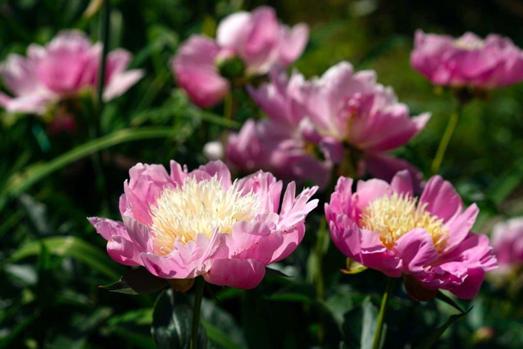 Rosa japanische Staudenpfingstrosen