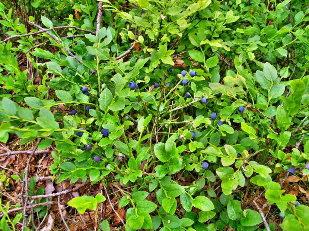 Blaubeeren im Wald