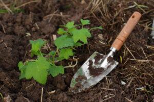 Junge Johannisbeere Frisch Eingepflanzt Mit Schaufel