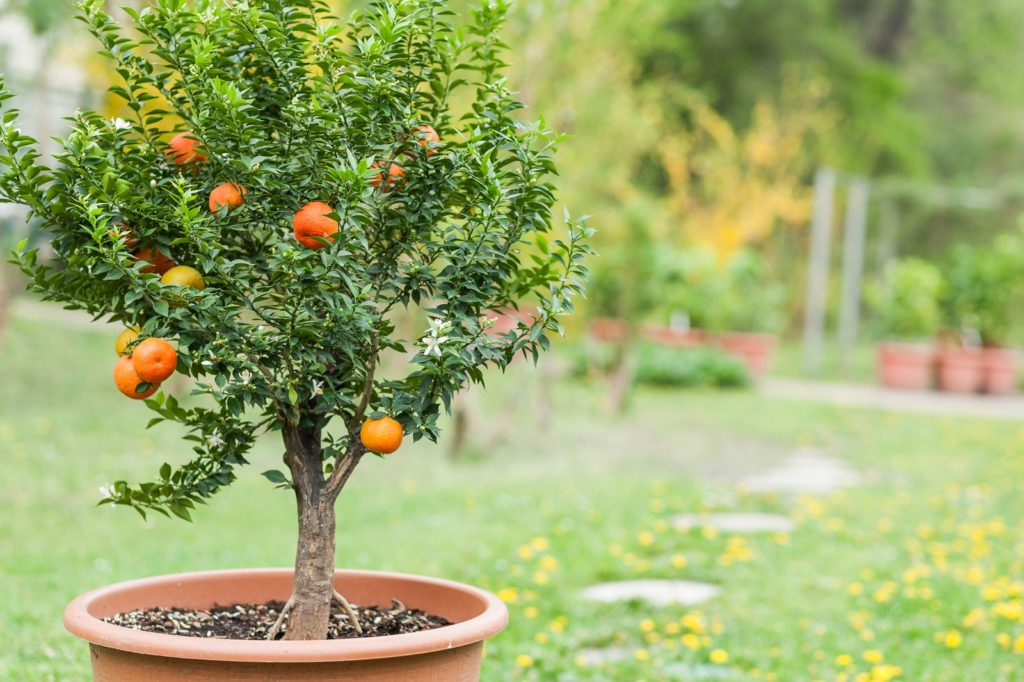 kleiner Obstbaum Patio Obst