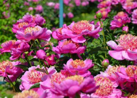 Pink Blühende Große Pfingstrose