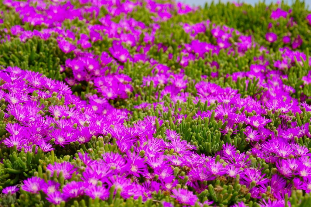 Polsterphox mit rosa Blüten