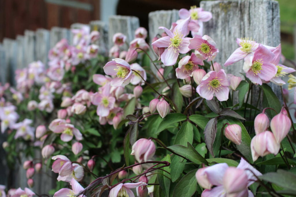 rosa Clematis am Zaun im Garten