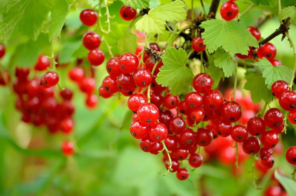 rote Johannisbeeren im Garten