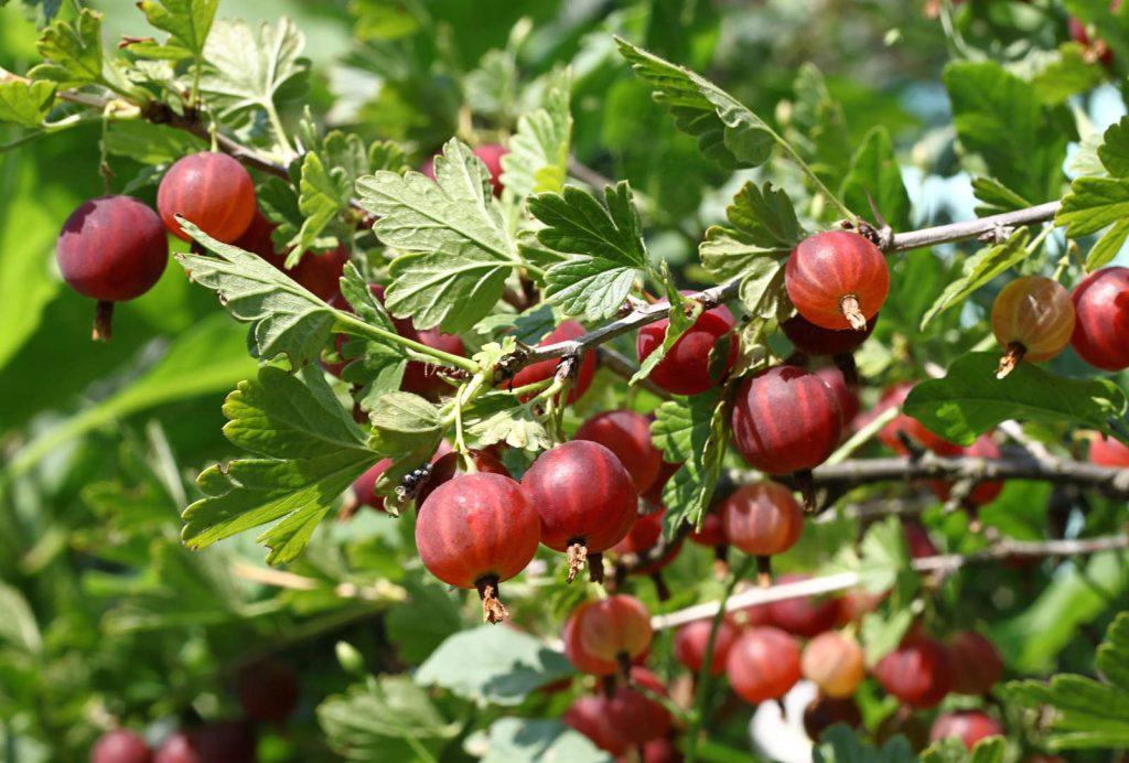Große, rote Stachelbeeren im Garten
