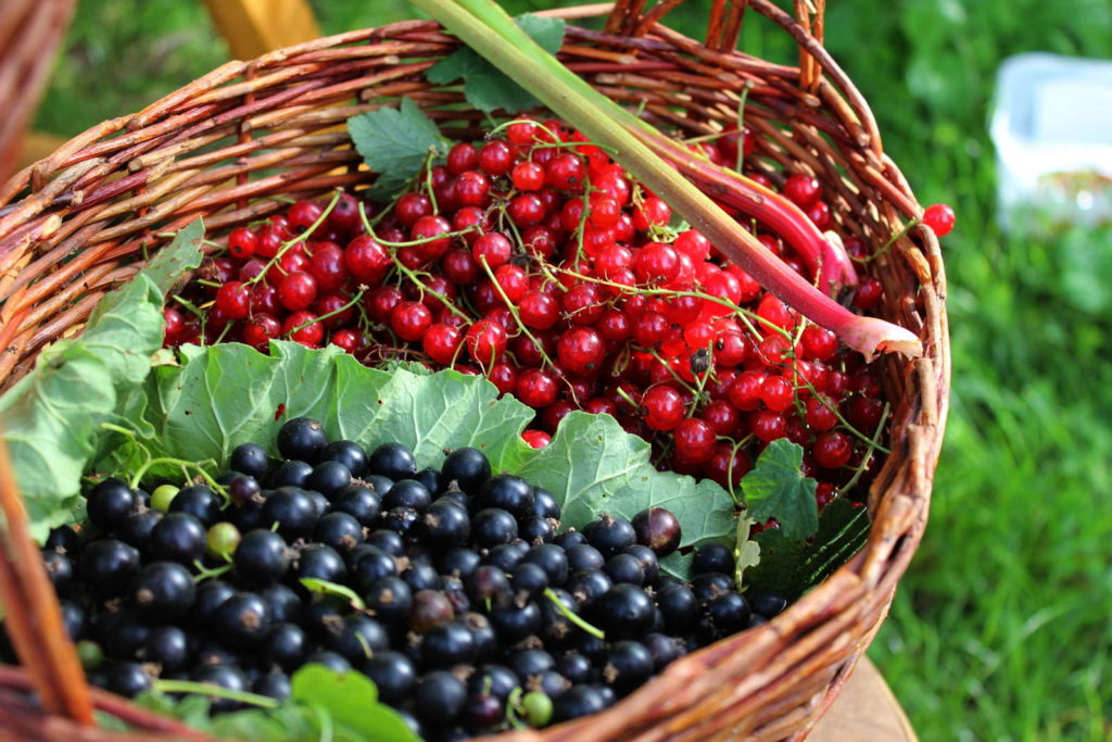 rote und schwarze Johannisbeeren im Korb im Garten