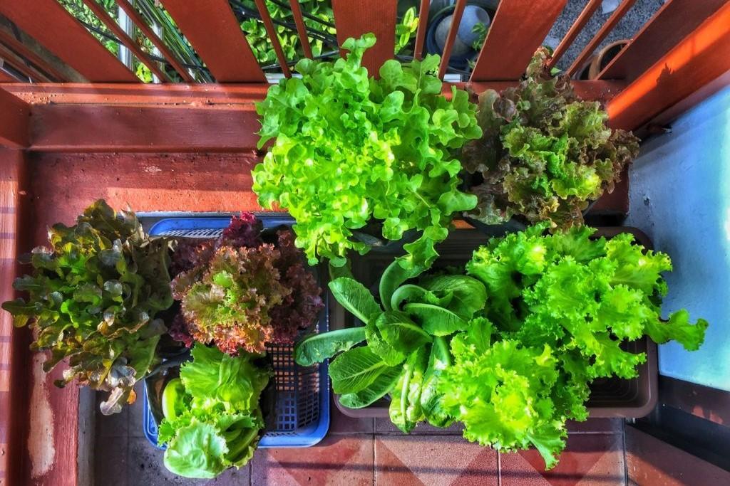 Verschiedene Salate in Töpfen auf einem Balkon
