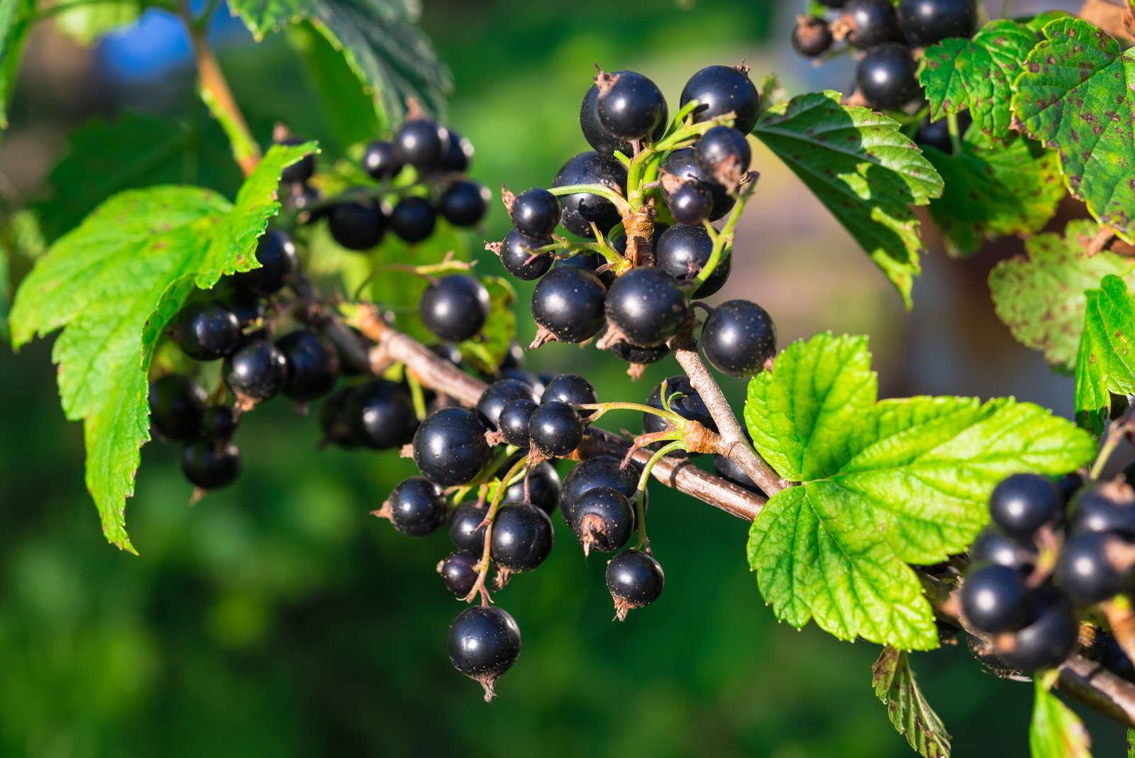 Schwarze Johannisbeere Pflanze besonders große Beeren milder Geschmack BONA