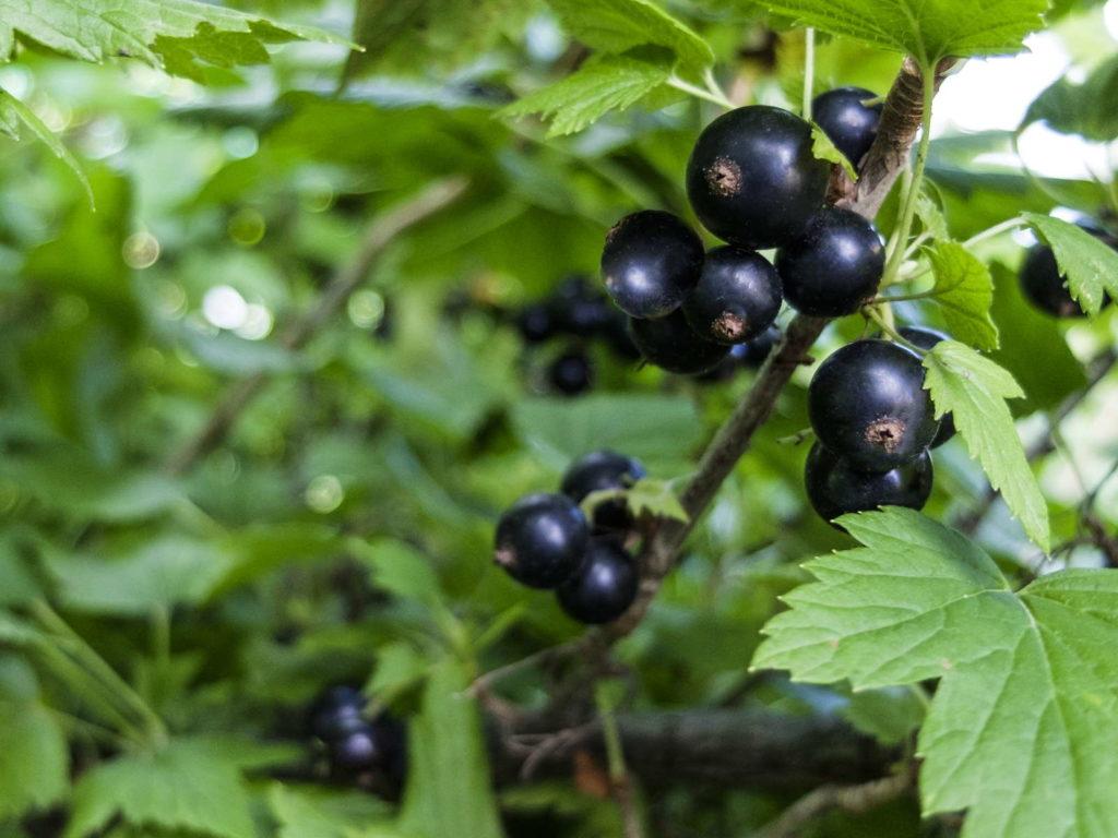schwarze Johannisbeere nah im Garten