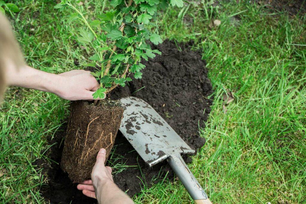 Stachelbeere wird eingepflanzt