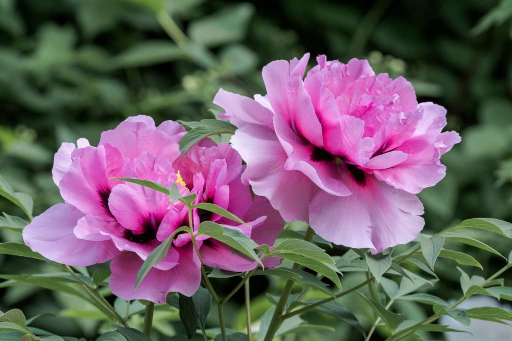 Strauchpfingstrose mit pinken Blüten