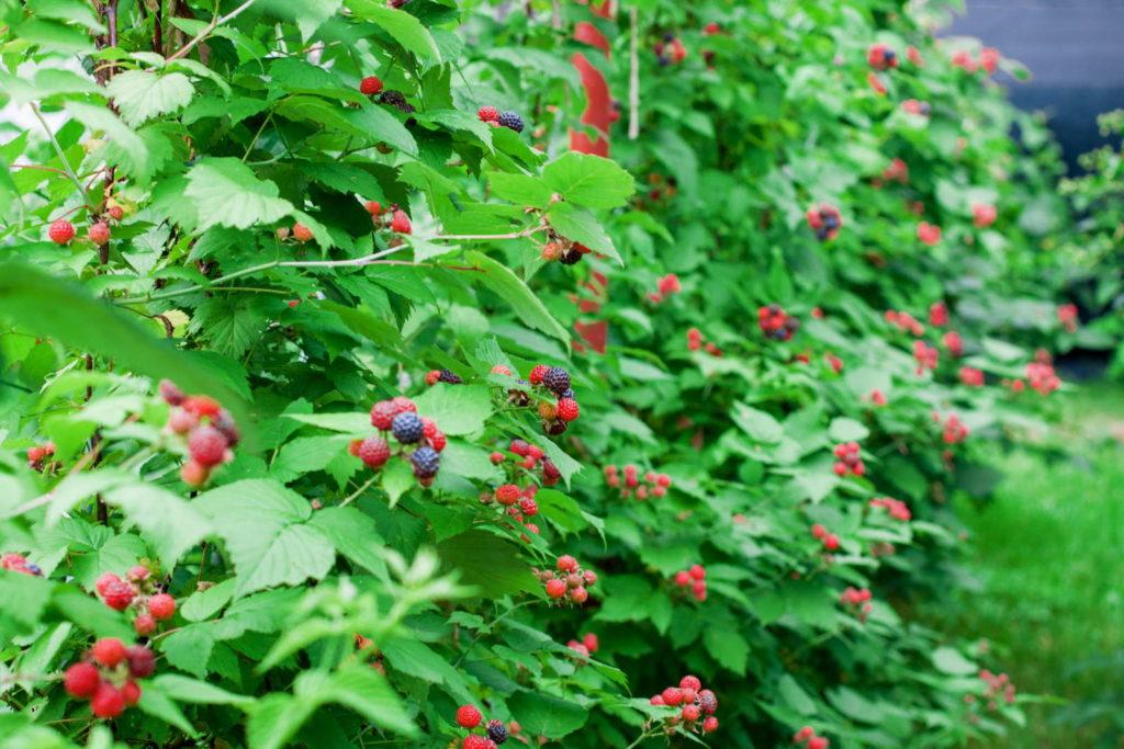tayberry Sträucher