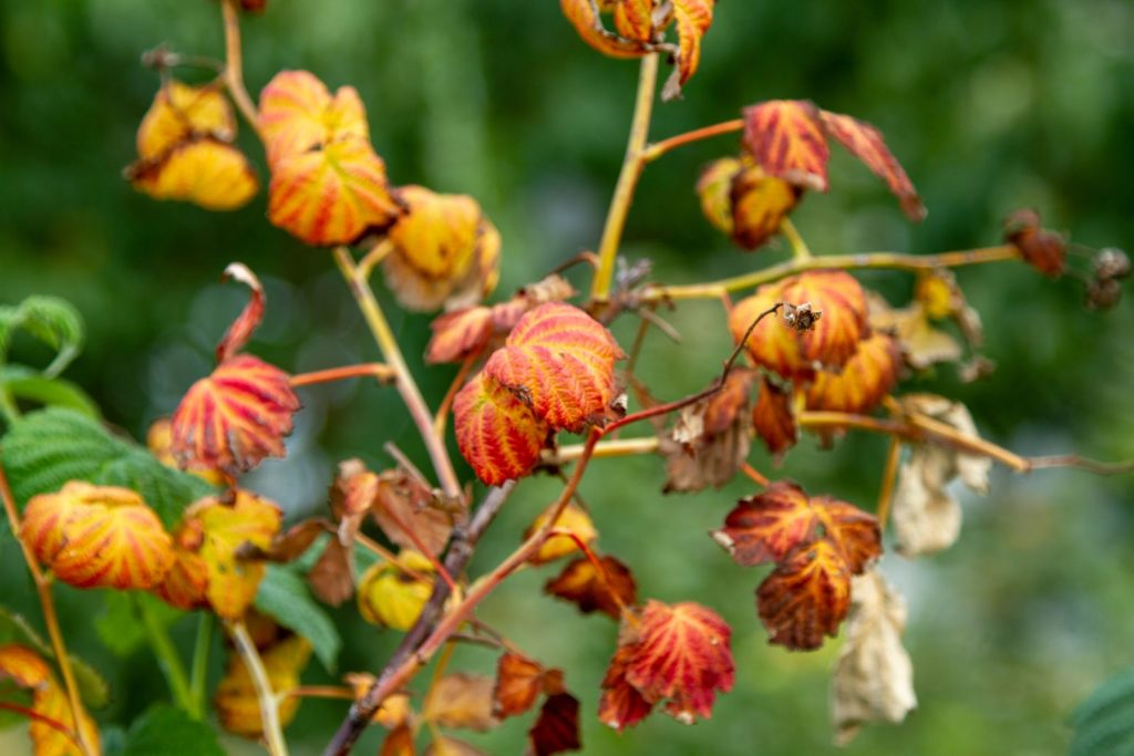 vertrocknete Himbeerpflanze