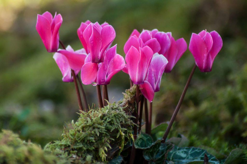 Alpenveilchen rosa Blüten Halbschatten