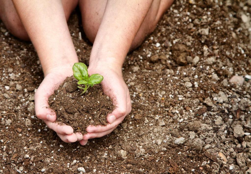 Basilikum Jungpflanze in Händen in Erde
