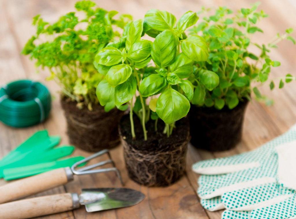 Basilikumpflanzen zum Eintopfen