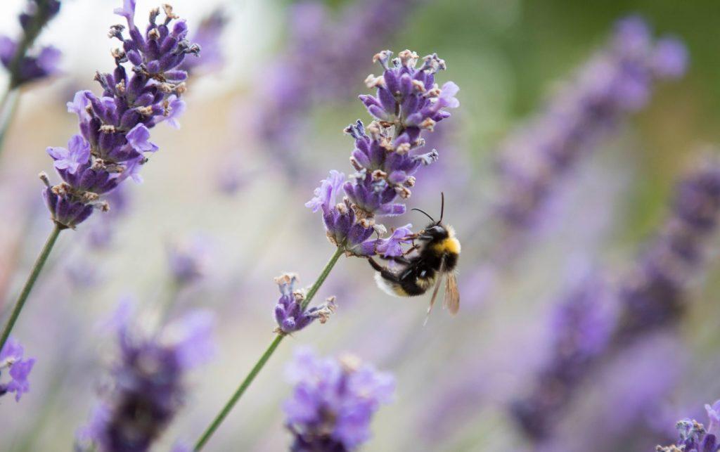 Biene labt sich an Lavendel