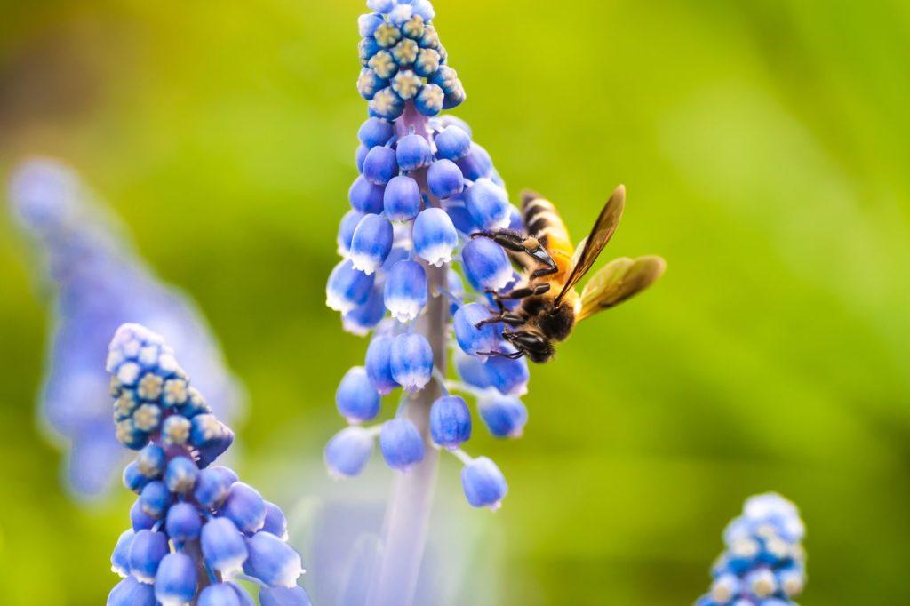 Biene labt sich an Traubenhyazinthe
