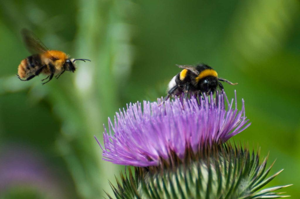 Bienen auf lila Blume