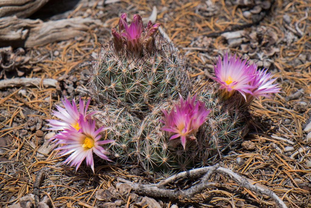 Bienenstock-kaktus mit rosanen Blüten im Garten