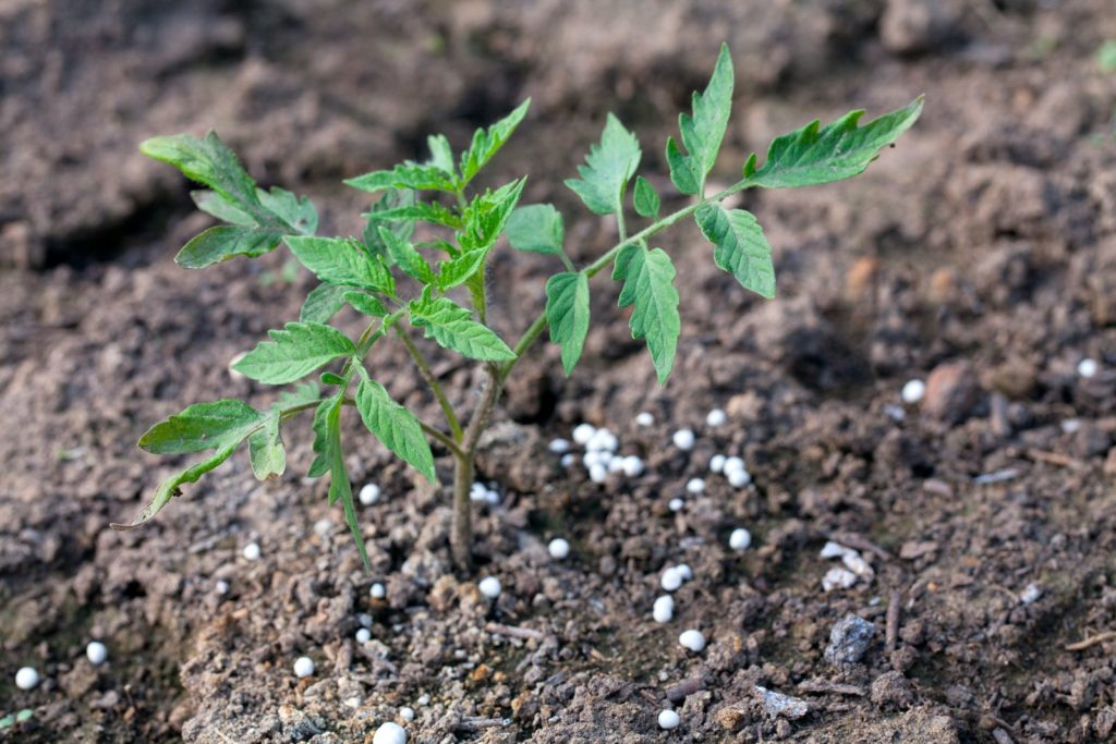 Tomatenpflanze wird mit Blaukorndünger gedüngt