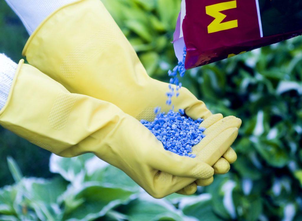 Blaukorn wird in gelbe Handschuhe geschüttet