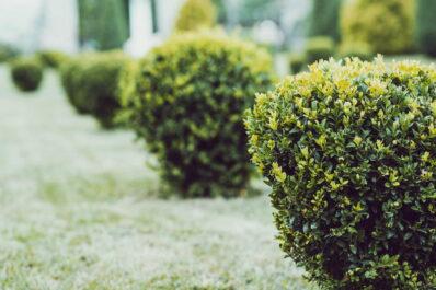 Buchsbaum vermehren: Vermehrung durch Stecklinge & Teilung