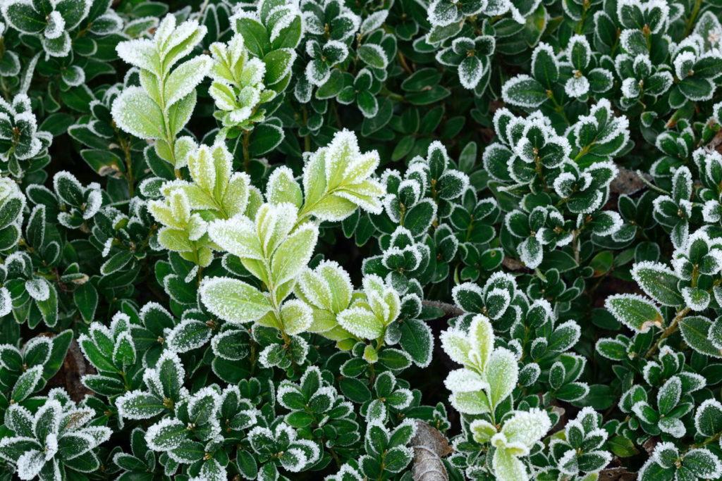 Ein Buchsbaum mit Frost an den Blattspitzen