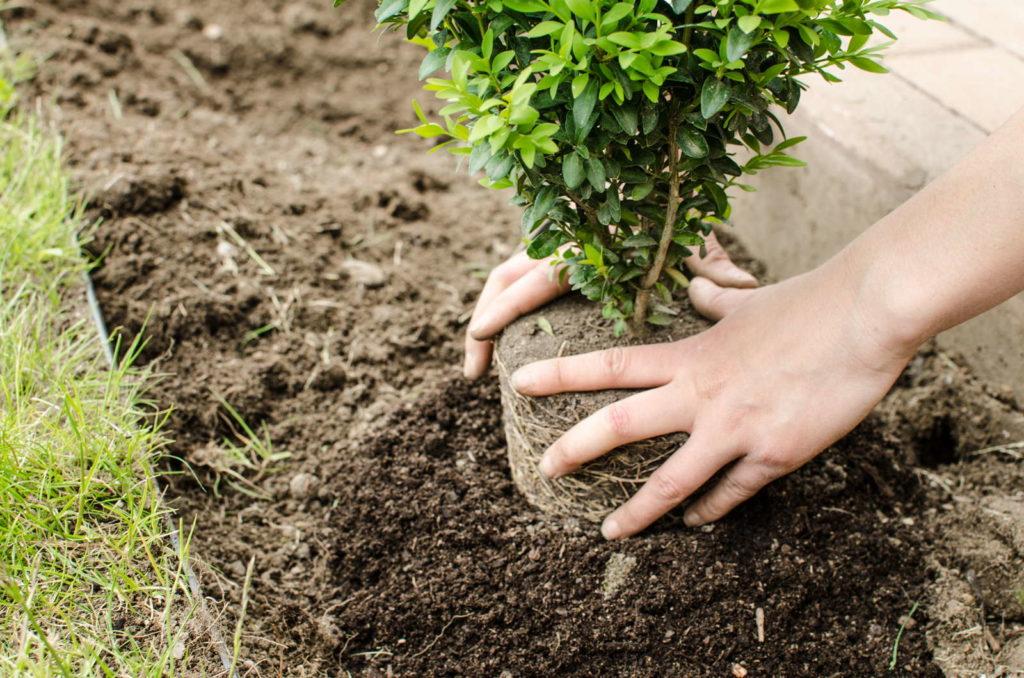 Ein Buchsbaum wird eingepflanzt