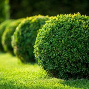 Buchsbaumbüsche In Einer Reihe Auf Gras