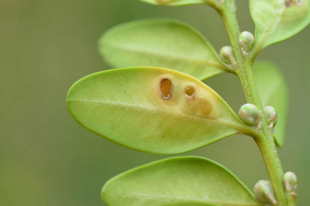 Durch die Buchsbaumgallmücke verursachte Löcher im Blatt eines Buchsbaumes