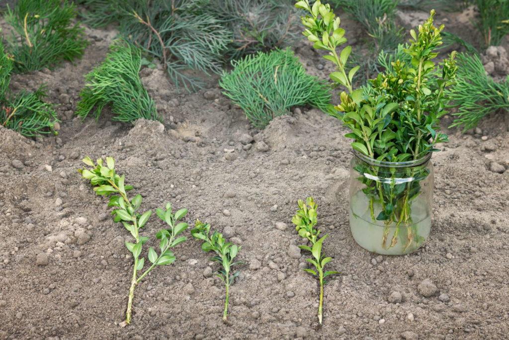 Buchsbaumstecklinge auf der Erde und in einer Vase