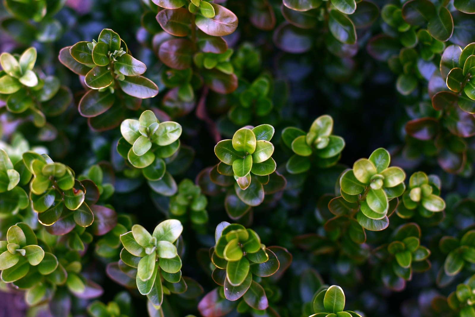 Atemberaubend Buchsbaum-Krankheiten: Symptome & Bekämpfung - Plantura #NL_87
