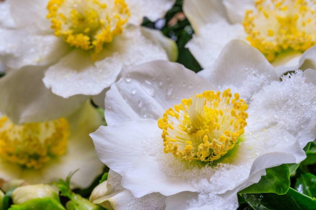Weiße Blüten der Christrose mit Schnee