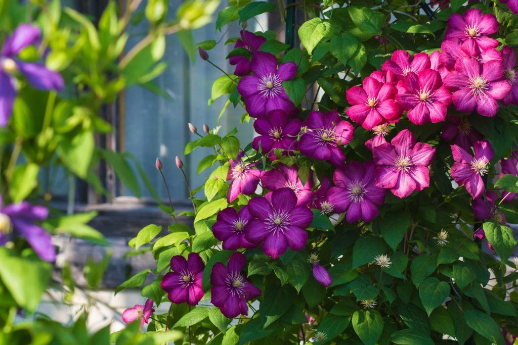 Clematis mit pinken Blüten
