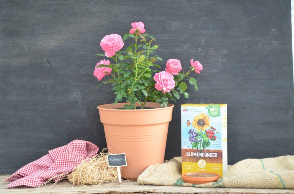 Rosenstrauch im Topf mit einer Düngerbox