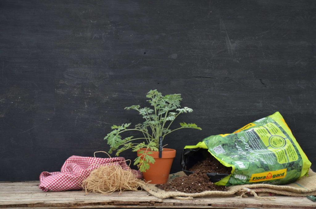 Wermutkraut im Topf mit Floragard Kräutererde