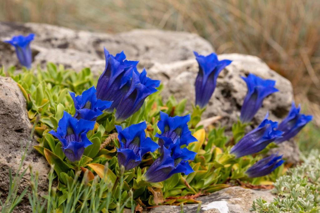 Enzian mit blauen Blüten an Felsen