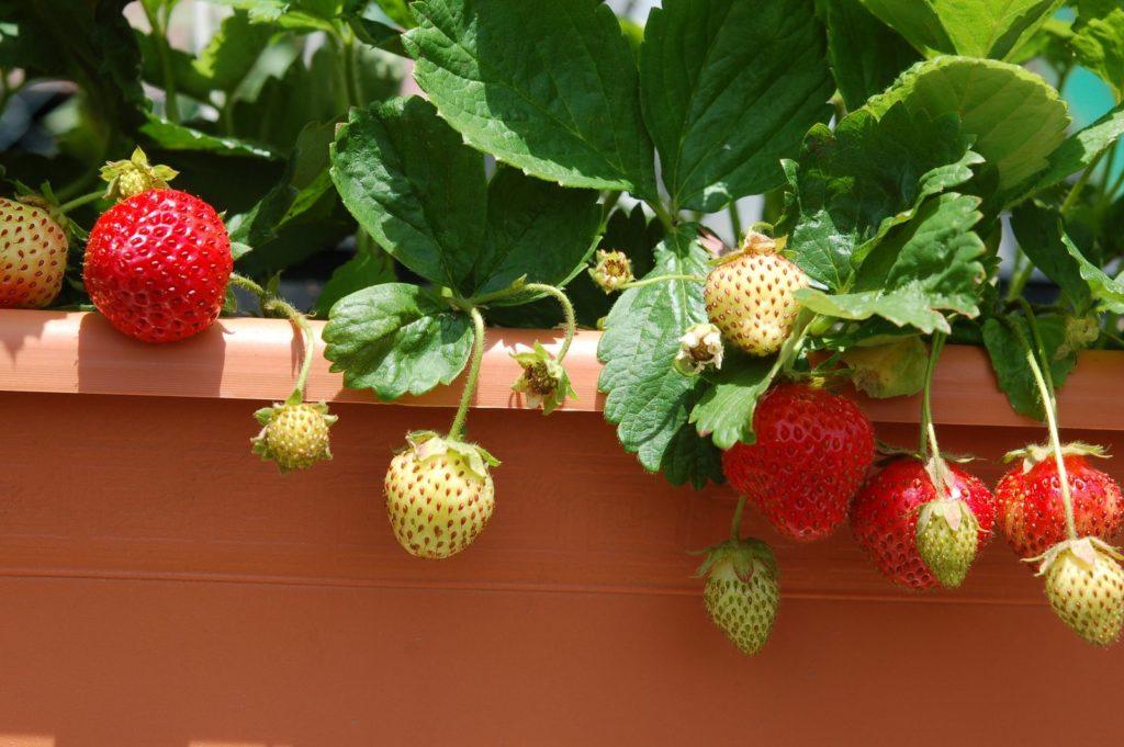 Erdbeeren in einem Topf in der Sonne