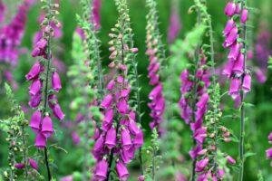 Fingerhut Pflanzen Im Garten Halbschatten Stauden