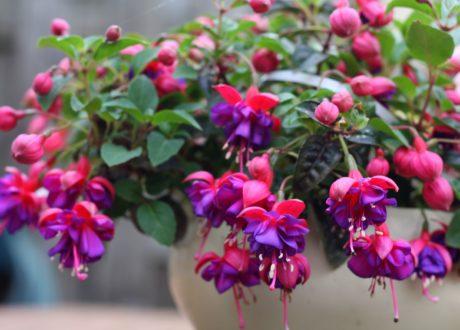 Eine Fuchsie Im Topf Mit Pink-lila Blüten