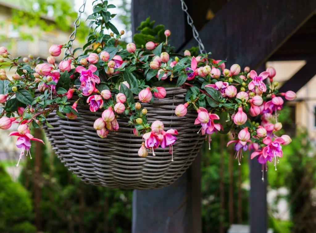 Fuchsie mit rosanen Blüten in einer Blumenampel aus einem Flechtkorb