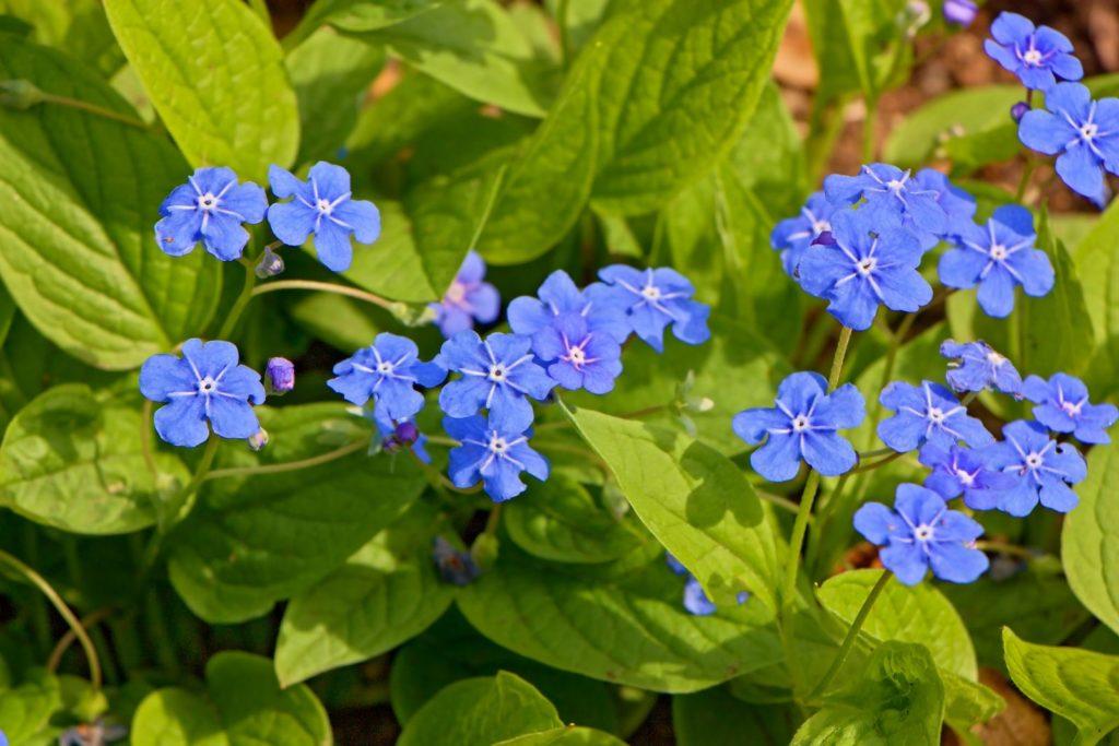 Gedenkemein Blüten im Garten