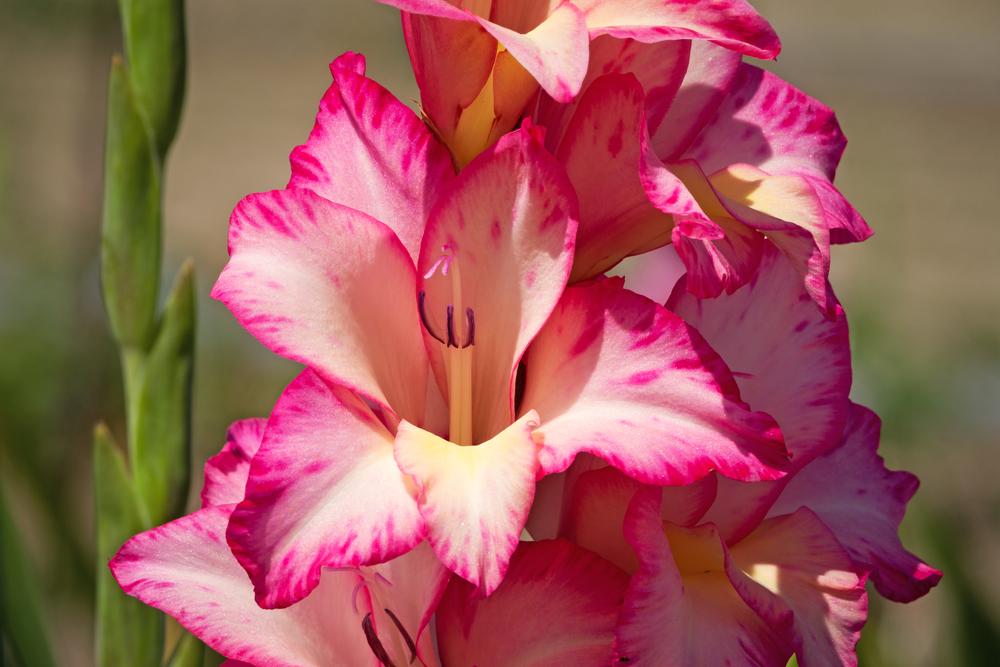 Gladiole mit pinken Blüten